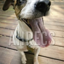 Fisheye view of a smiling Jack Russell Terrier