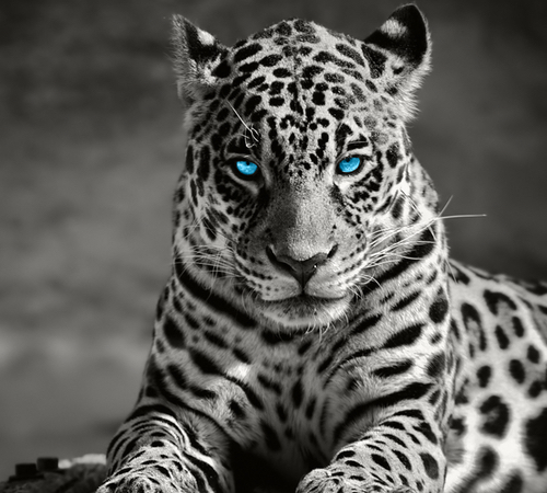 Leopard with brilliant blue eyes