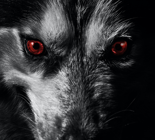 Close up of a wolf's face with red eyes
