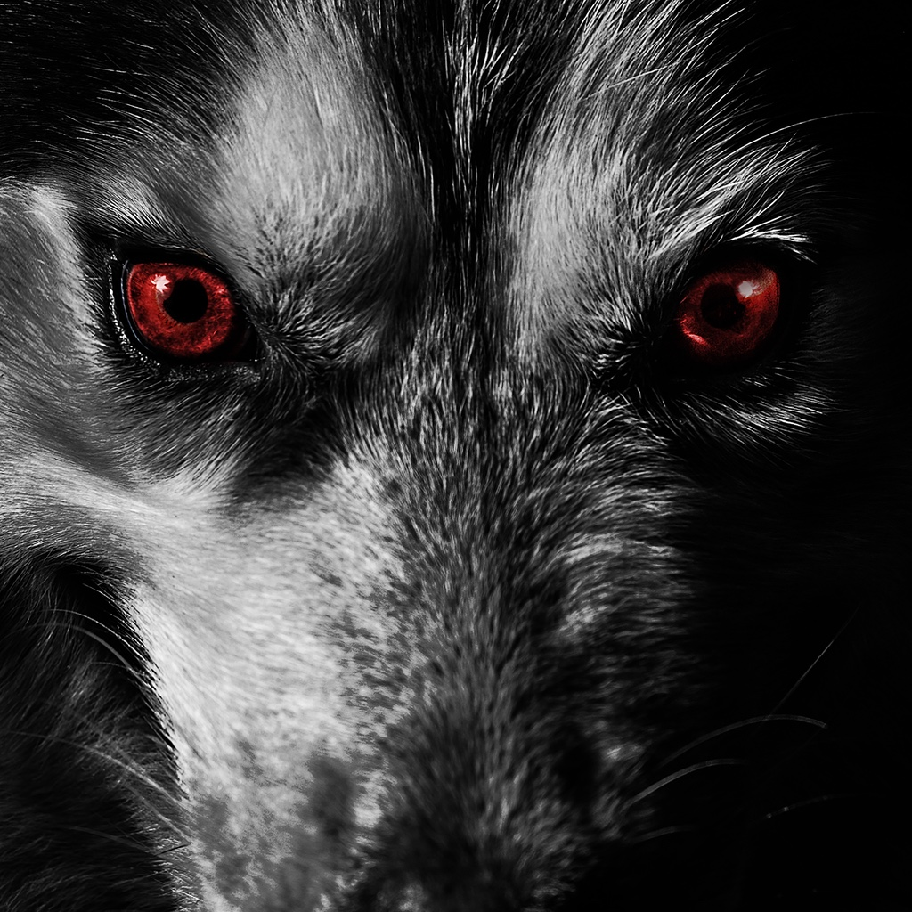 A close-up picture of a dangerous and angry wolf