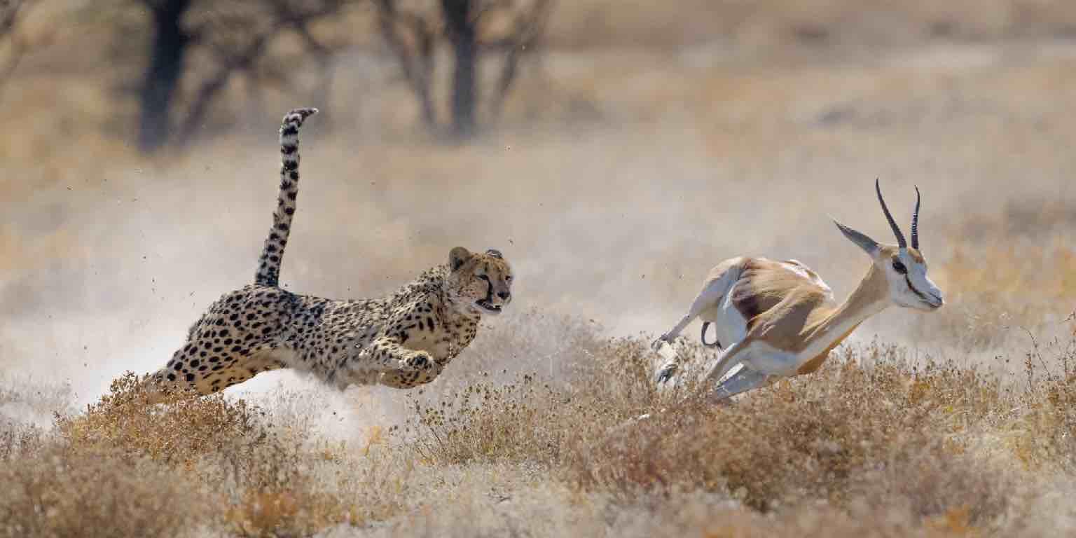 A photograph of a cheetah chasing down its prey