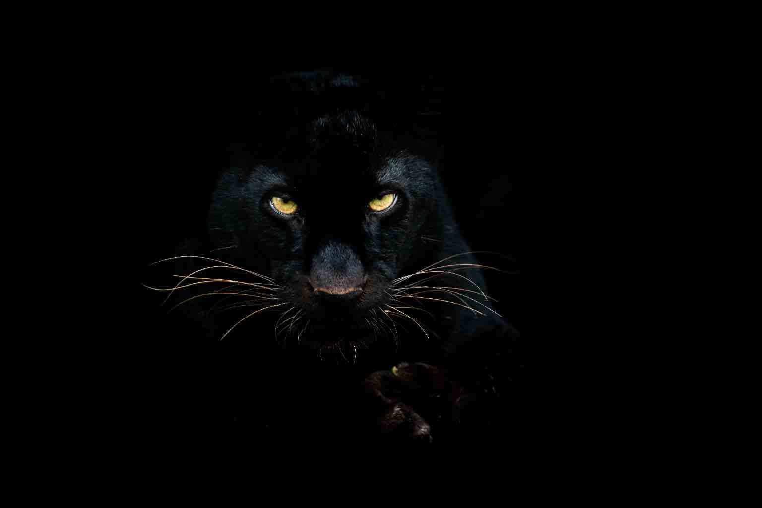An ominous black panther scowls at us from a black background