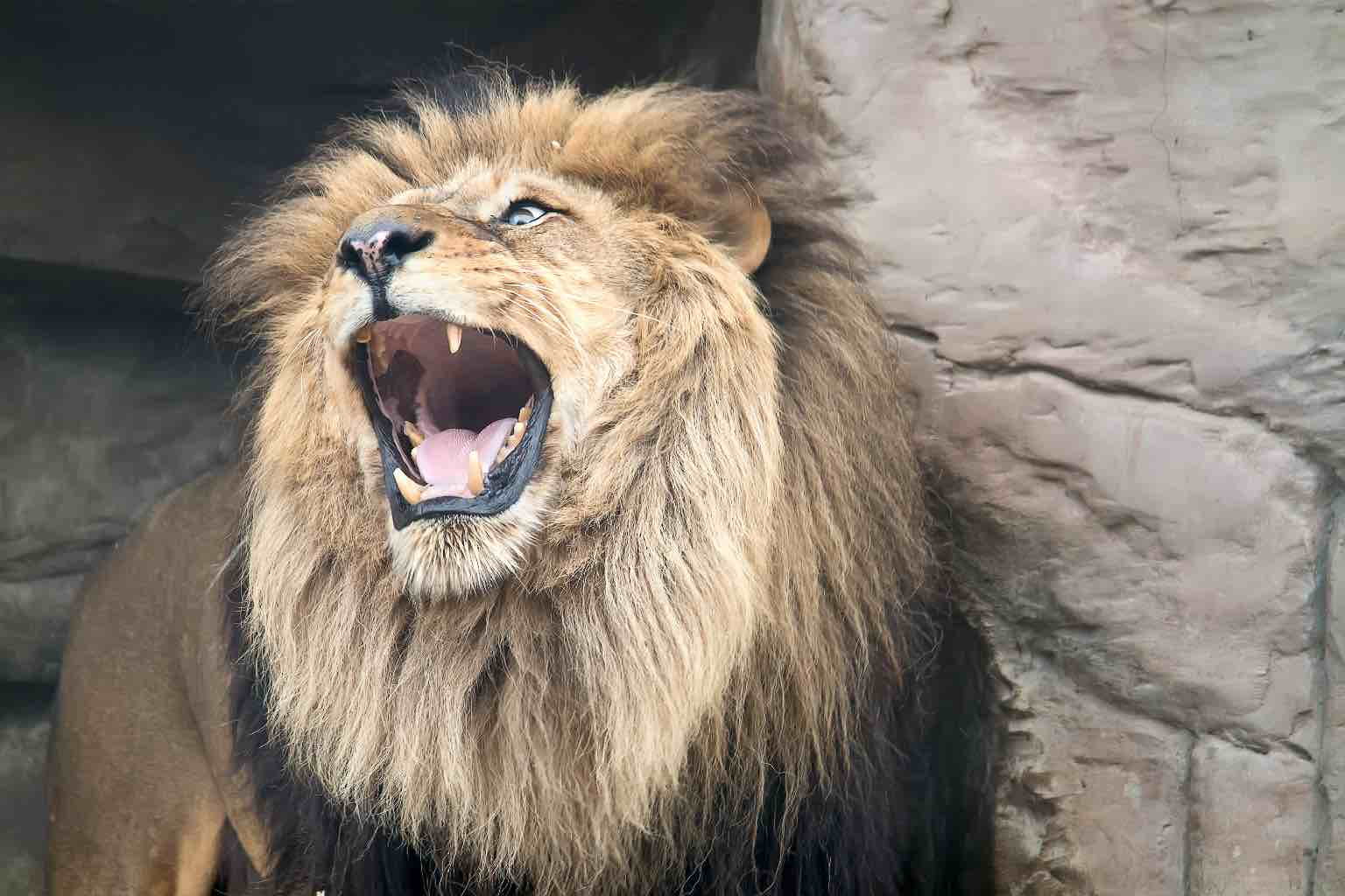 A picture of roaring adult lion